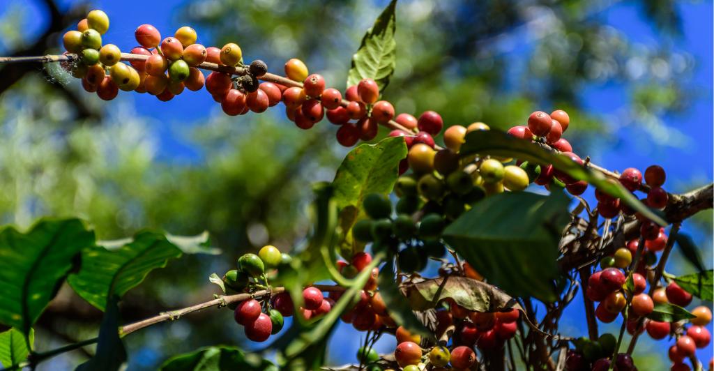 utz-gecertificeerde-koffie